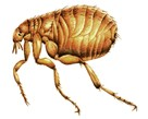 Fleas Pest Control London